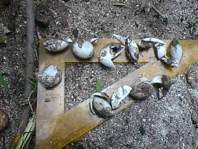 Penemuan Telur Penyu dalam kondisi rusak di Pulau Seruni