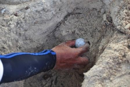 Evakuasi Telur Penyu